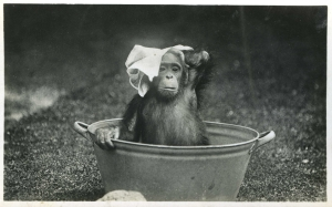 Bobo the chimp takes a bath