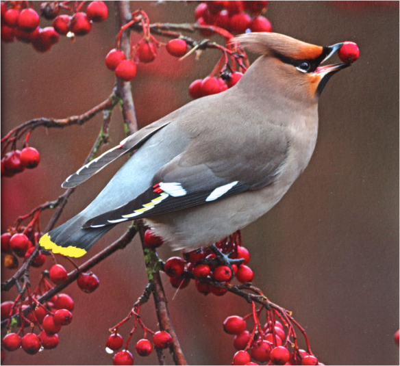 'Waxwing Feeding' by David Wolfenden